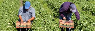 Migrant workers picking strawberries by hand